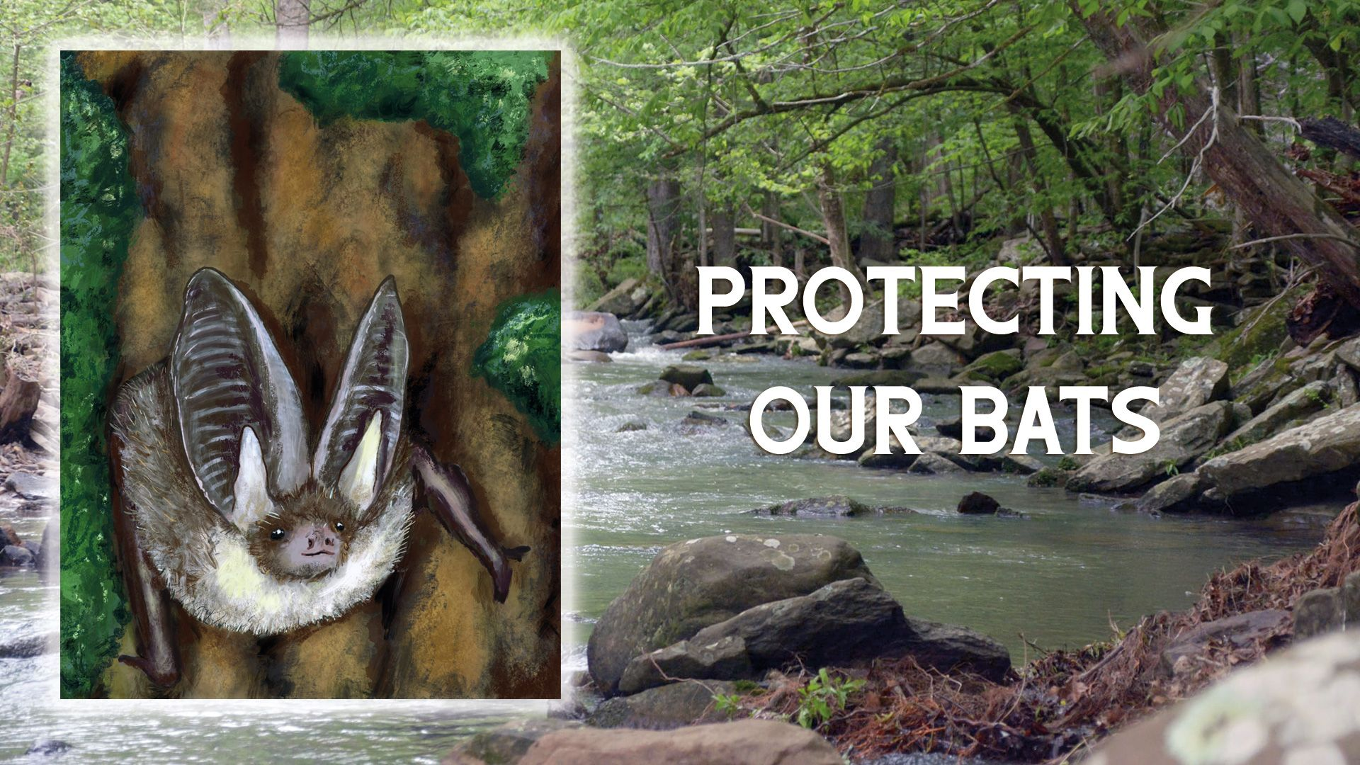 Saving the Ozark Big-Eared Bat